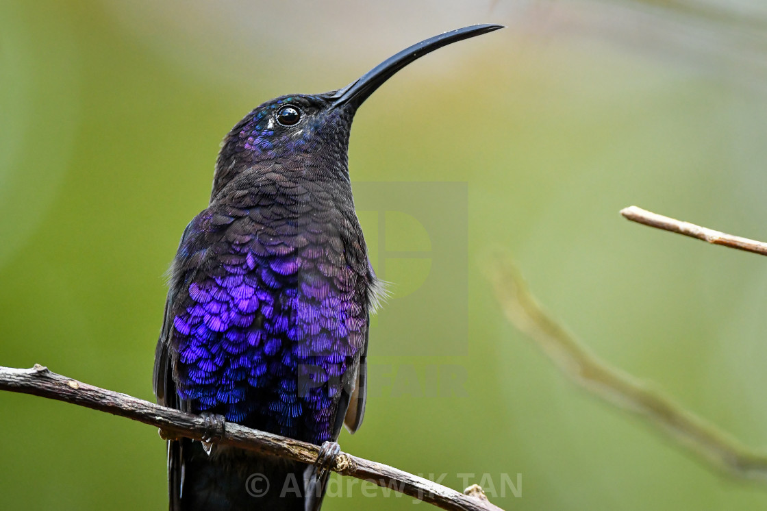 """Violet Sabrewing Hummingbird 01"" stock image"