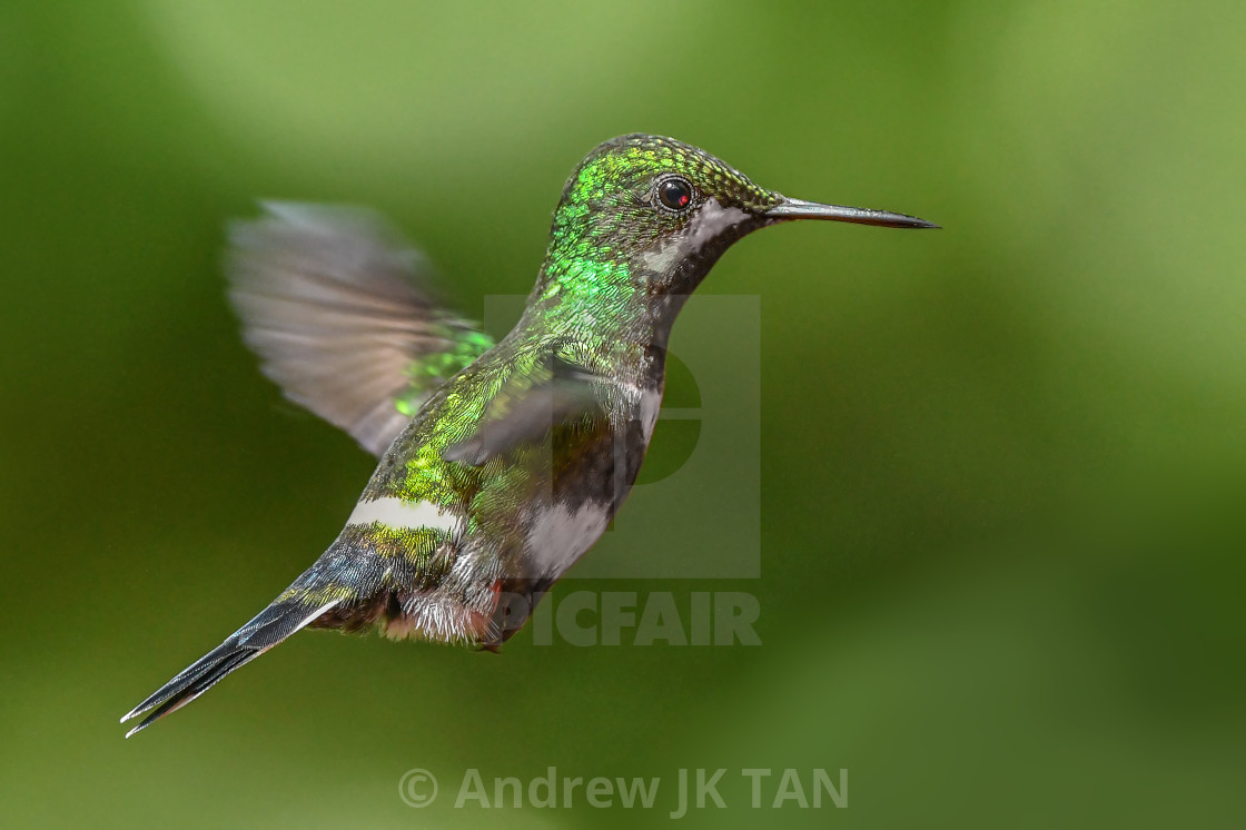 """Green Thorntail Hummingbird"" stock image"