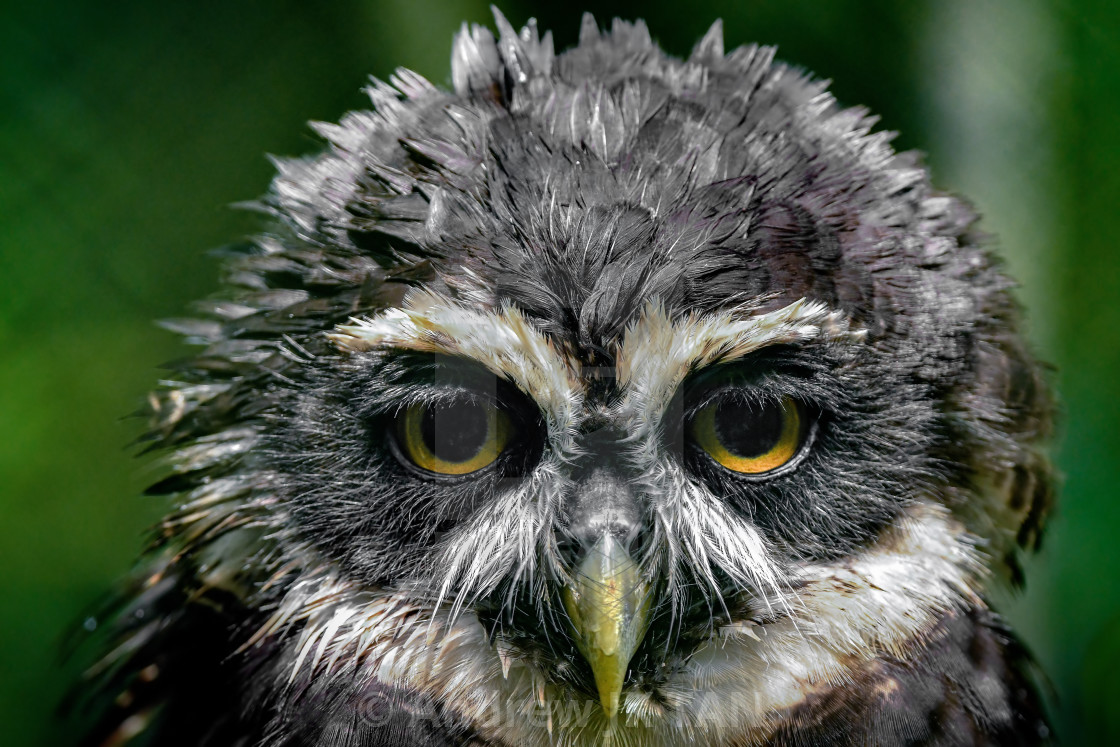 """Spectacled Owl"" stock image"