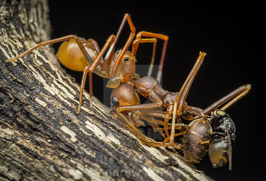 """Ant Mimic Spider 01"" stock image"