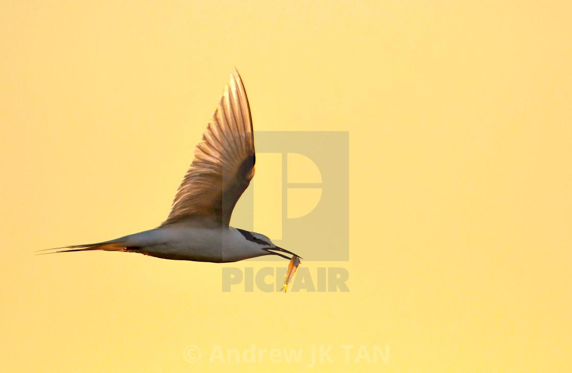 """Black Naped Tern 01"" stock image"