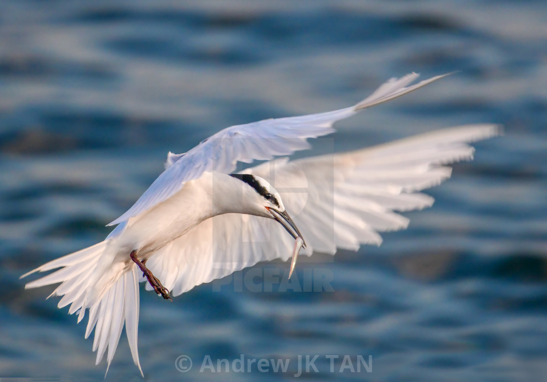 """Black Naped Tern 04"" stock image"
