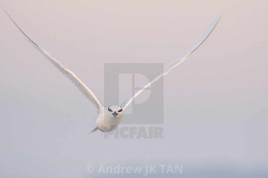 """Black Naped Tern 03"" stock image"