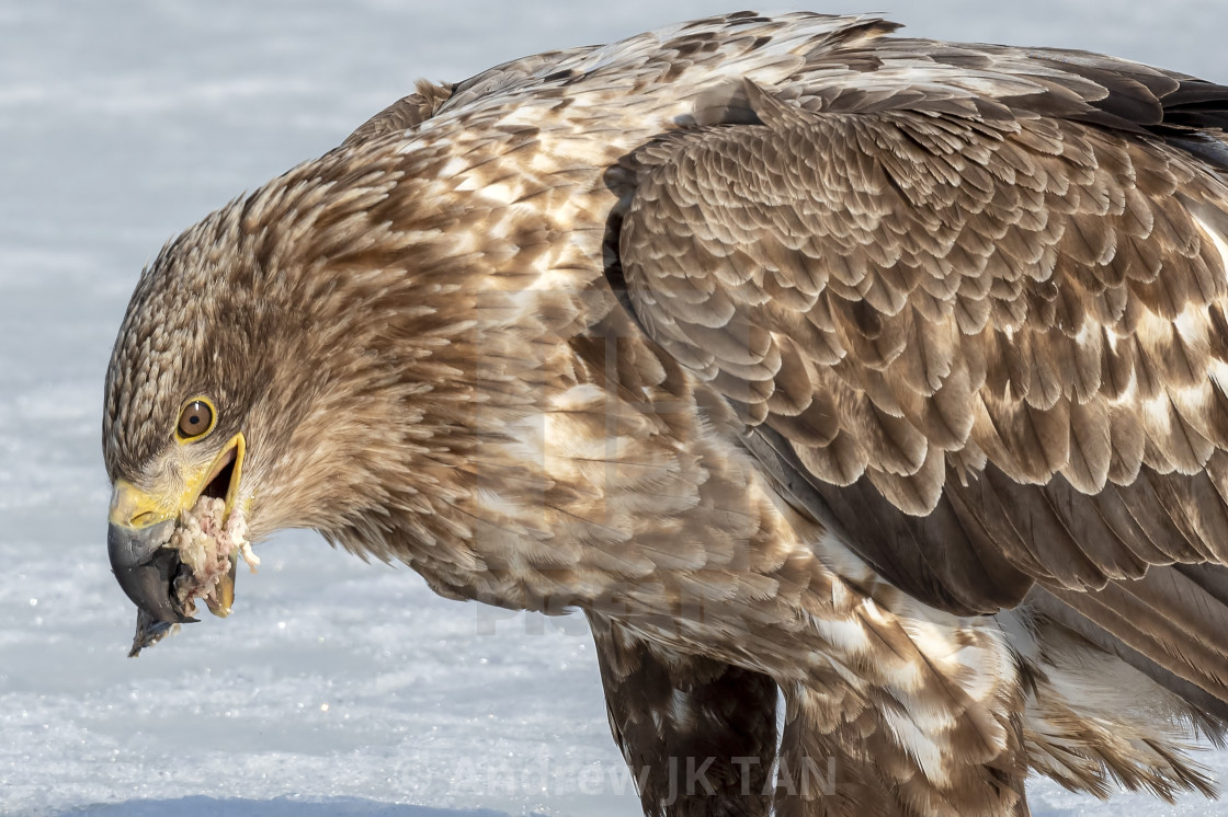 """White-Tailed Sea Eagle Feeding 01"" stock image"