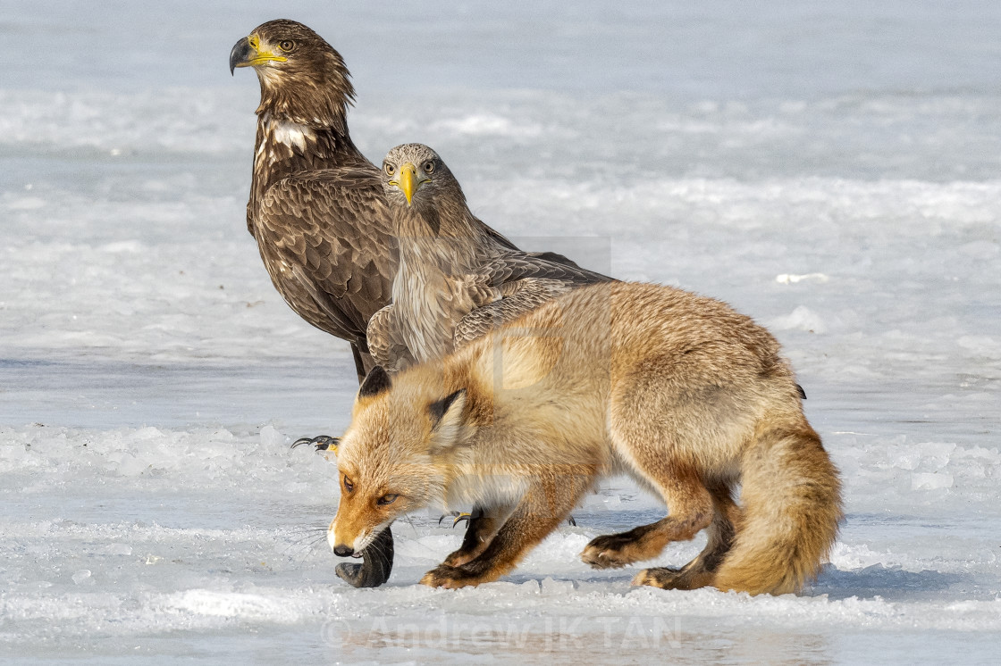 """Fox VS Eagle 05"" stock image"