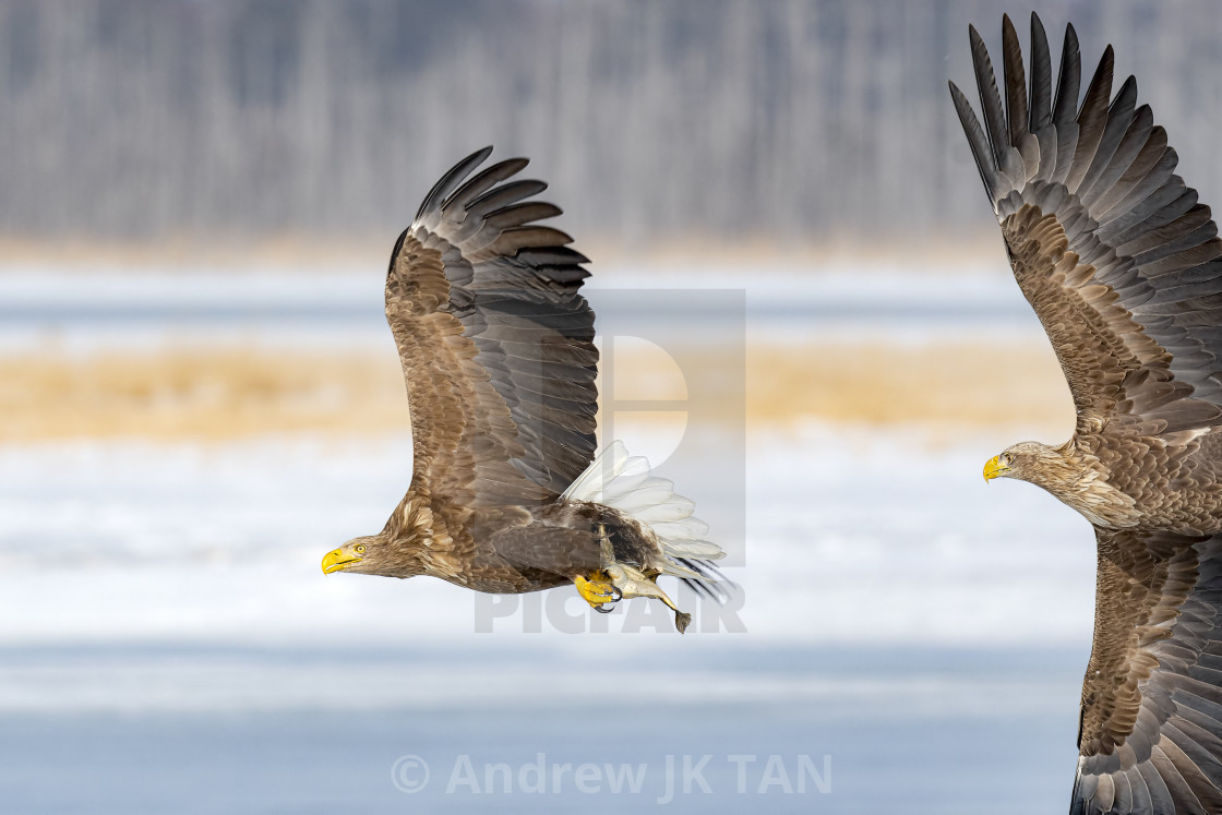 """""""White-tailed Sea Eagles in Pursuit 01"""" stock image"""