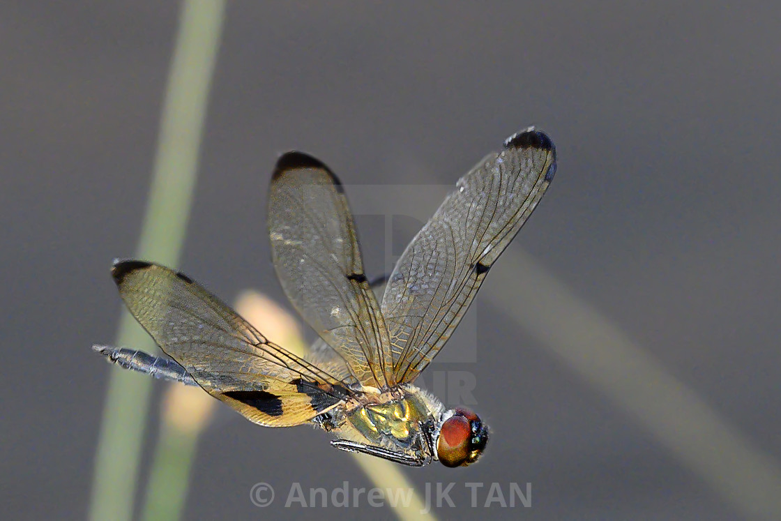 """Dragonfly In Flight 01"" stock image"