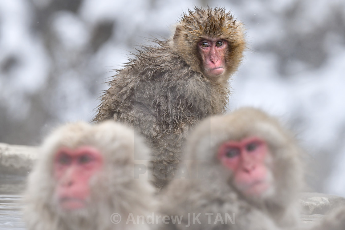 """Snow Monkeys 19"" stock image"