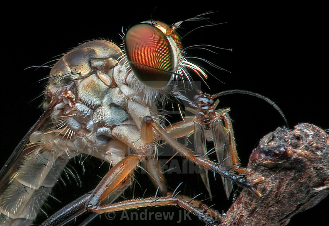 """Robberfly with Prey 01"" stock image"
