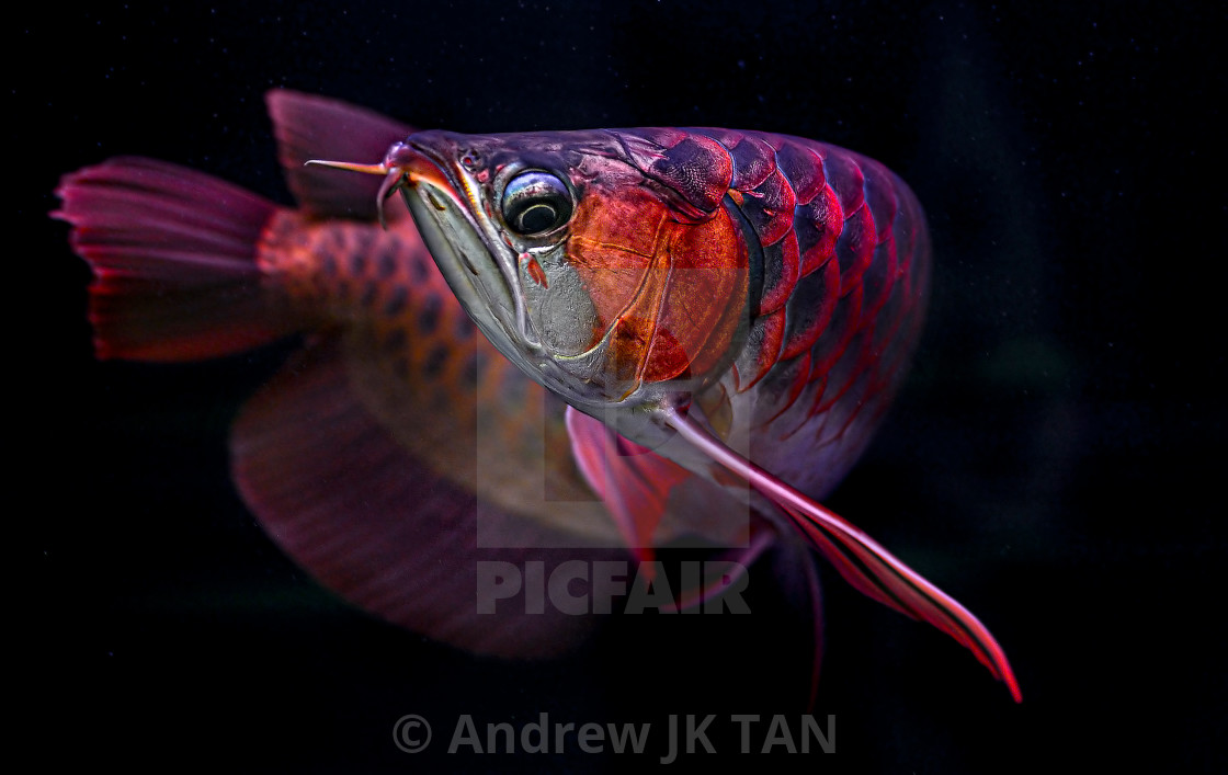 """Red Arowana 04"" stock image"