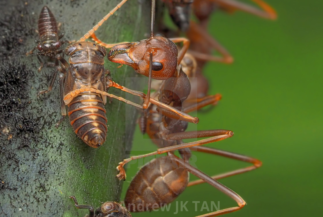 """Ants & Aphids 02"" stock image"