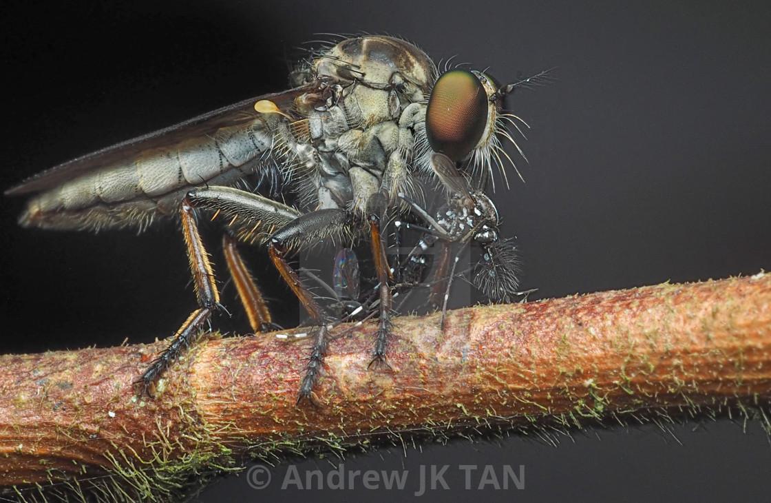 """""""Borneo Robberfly 02"""" stock image"""