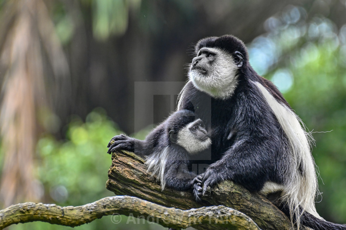 """Colobus Monkeys"" stock image"