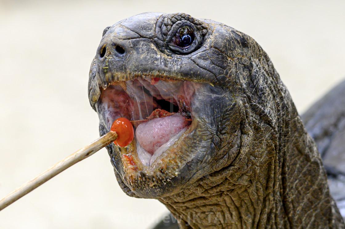 """Giant Tortoise Feeding 03"" stock image"