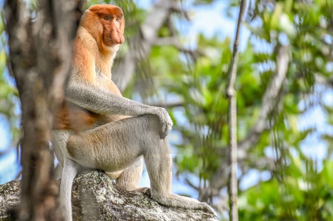 """Brunei Proboscis Monkey 02"" stock image"