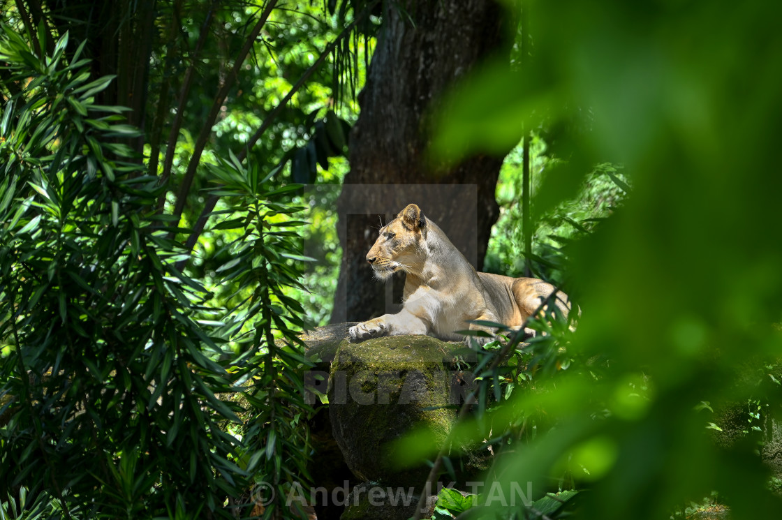 """Lioness surrounded by Greenery"" stock image"