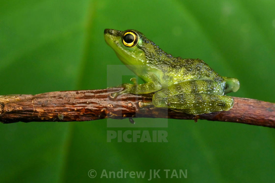 """Pond Frog 03"" stock image"