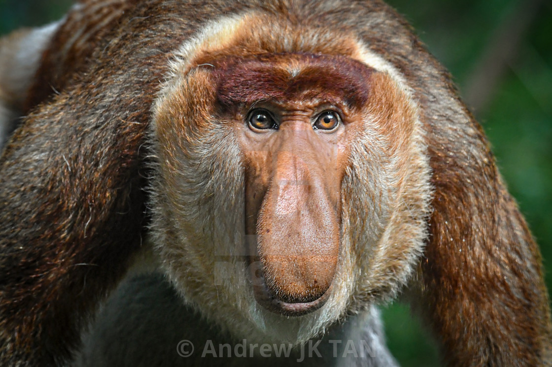 """Male Proboscis Monkey"" stock image"