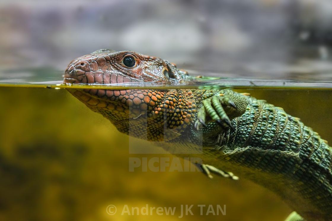"""Caiman Lizard Swimming 02"" stock image"