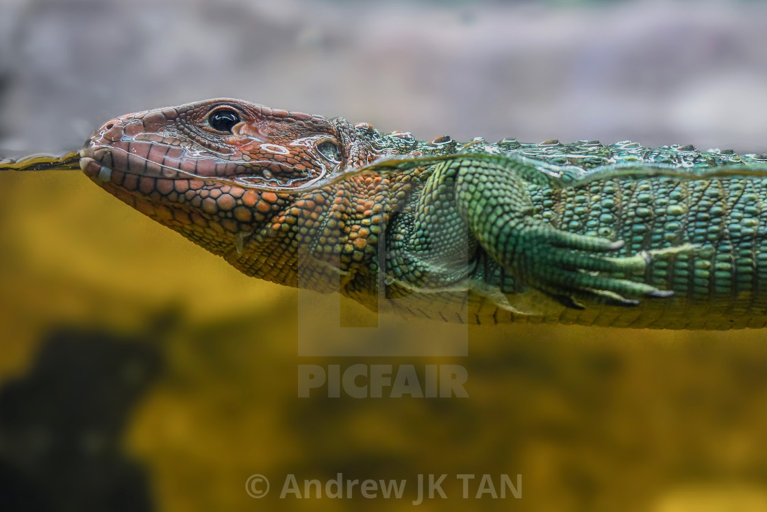 """Caiman Lizard Swimming 01"" stock image"