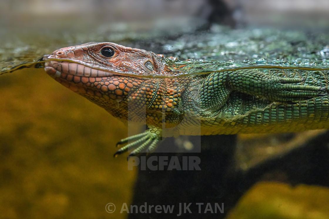 """Caiman Lizard Swimming 03"" stock image"