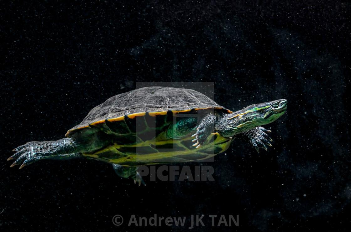 """Tortoise Swimming"" stock image"