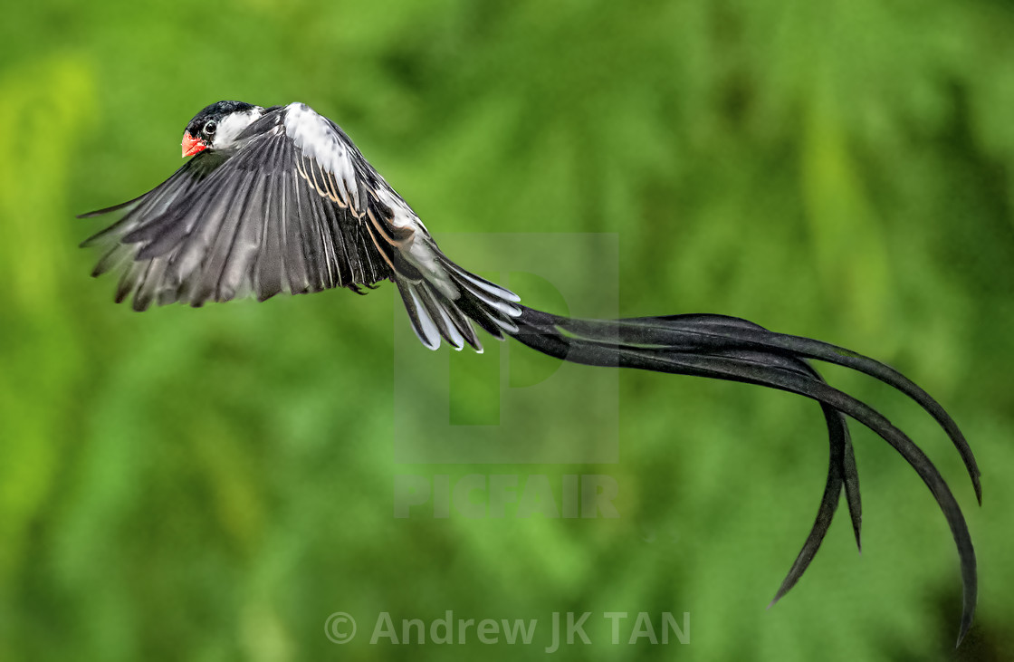 """Pin Tailed Whydah 15"" stock image"