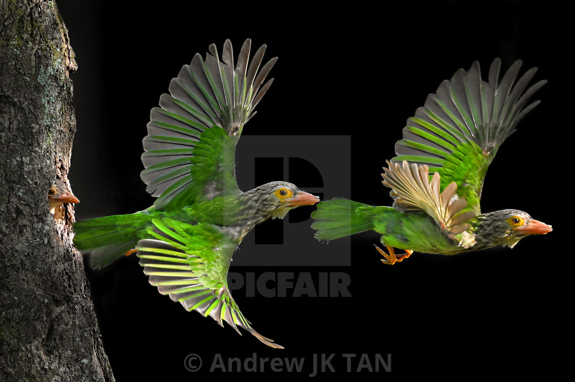 """Lineated Barbet Flight Sequence 02"" stock image"