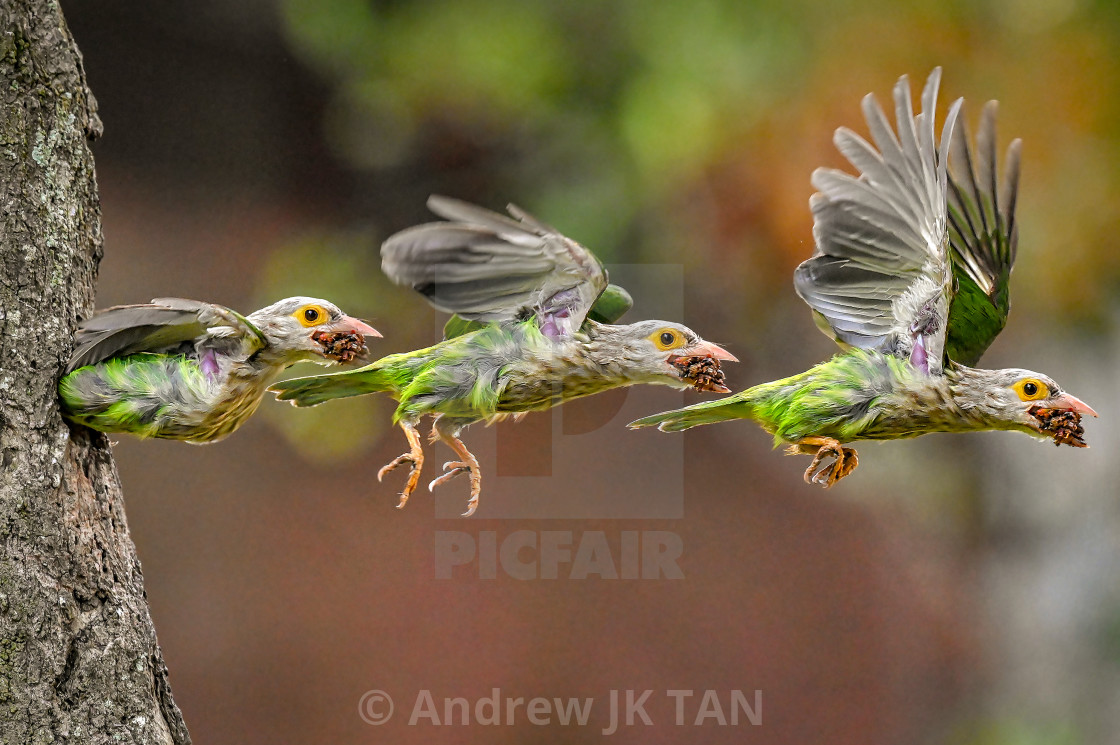 """Lineated Barbet Flight Sequence 04"" stock image"