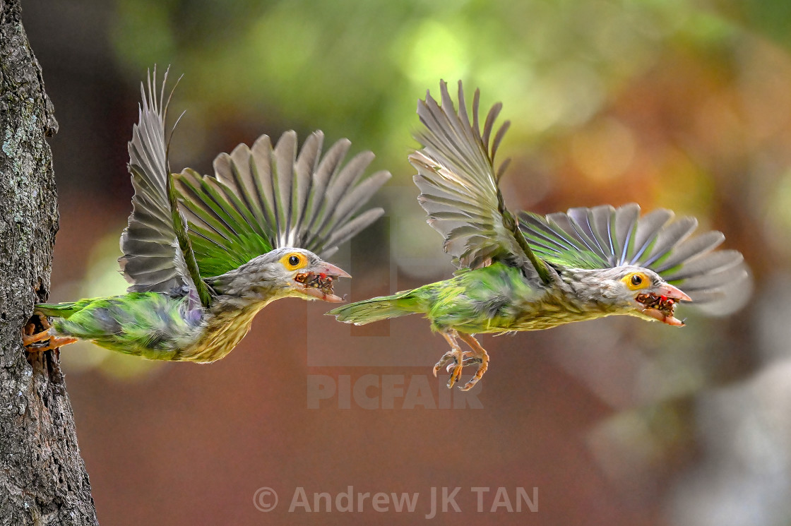 """Lineated Barbet Flight Sequence 05"" stock image"