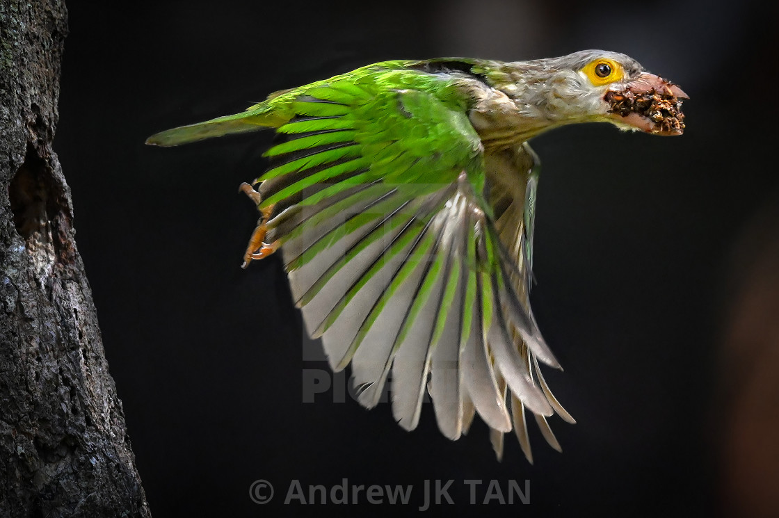 """Lineated Barbet 05"" stock image"
