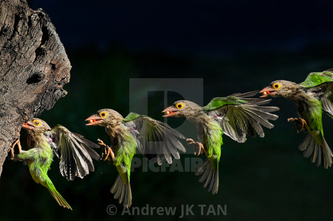 """Lineated Barbet Flight Sequence 09"" stock image"