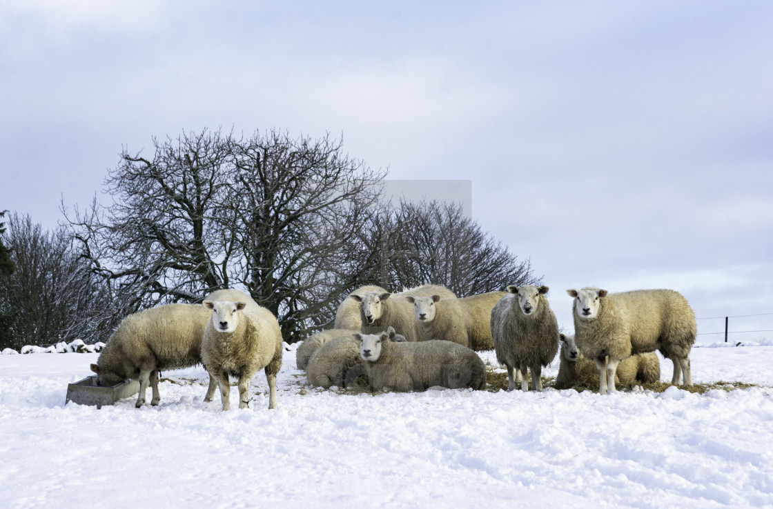 """""""Sheep in the snow"""" stock image"""