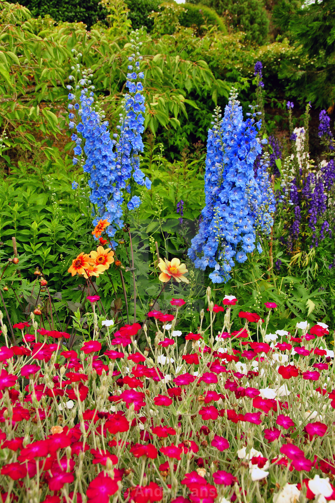 """Blue Delphiniums Summer Flowers"" stock image"