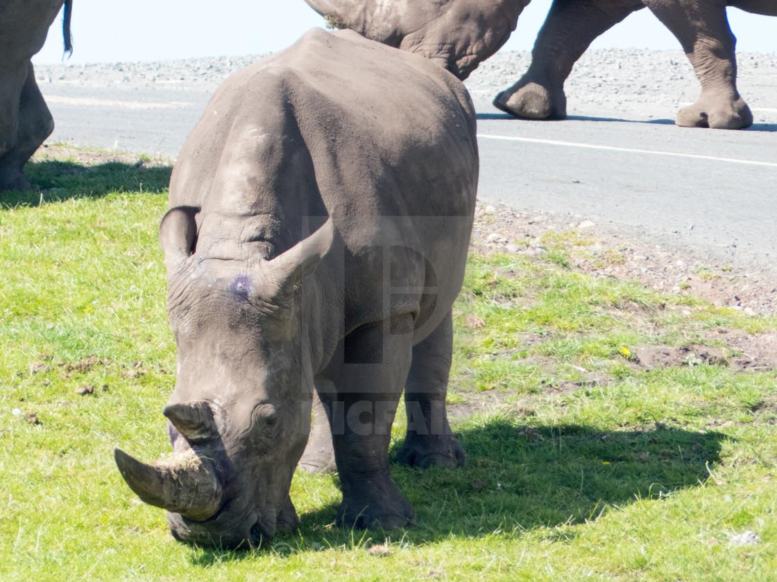 """Rhinoceros"" stock image"