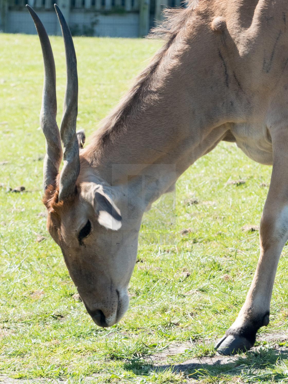 """Antilope"" stock image"