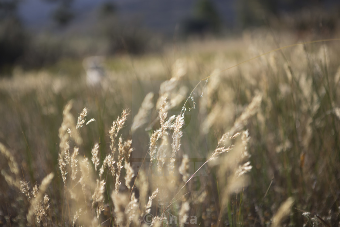 """""""Grasses in a field"""" stock image"""
