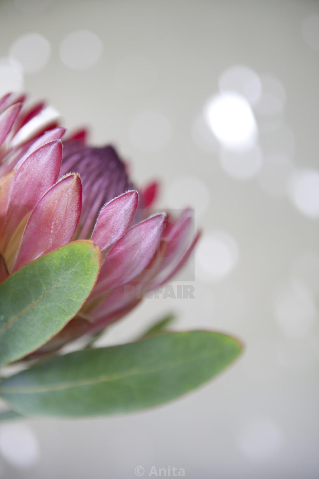 """King Protea"" stock image"
