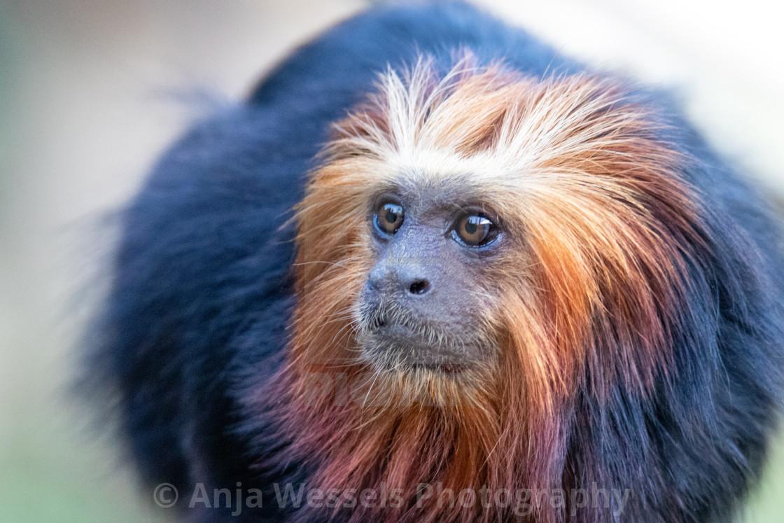 """Golden-headed lion tamarin"" stock image"