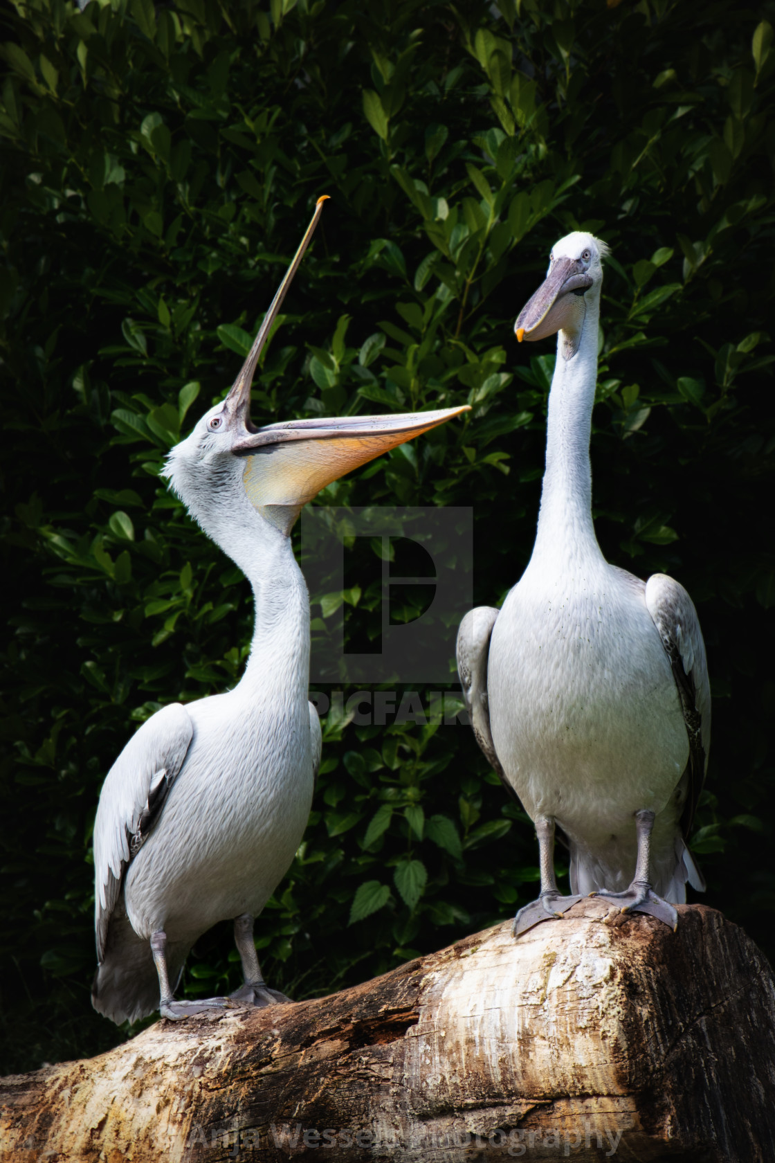 """""""Great white pelicans"""" stock image"""