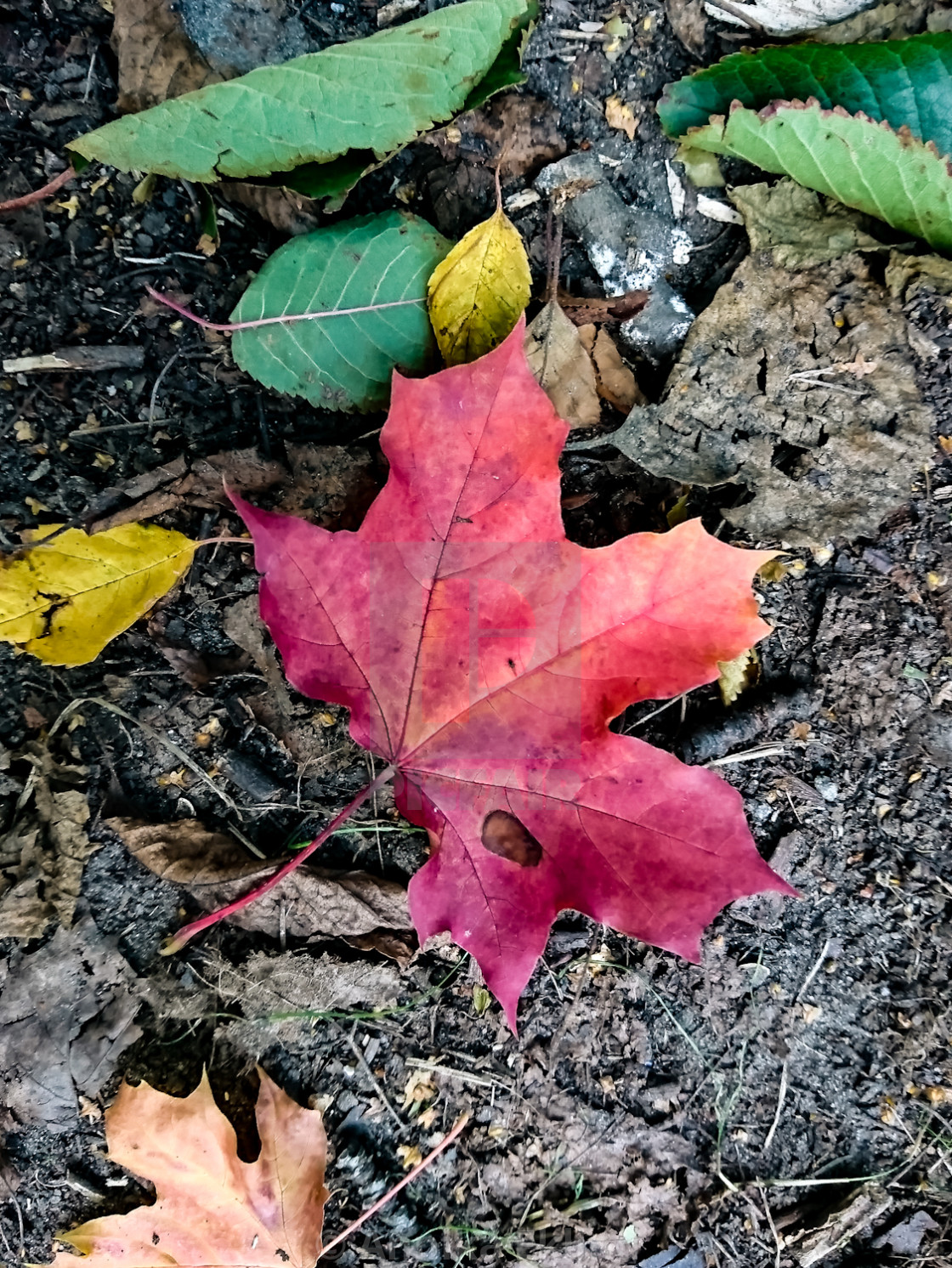 """The Red Leaf"" stock image"