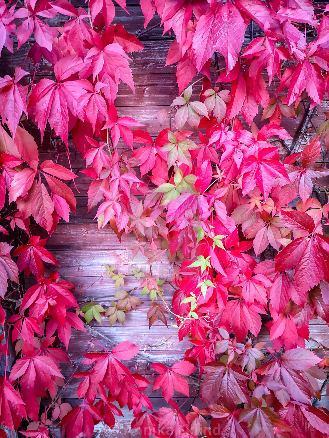 """""""Vines on a wooden wall"""" stock image"""