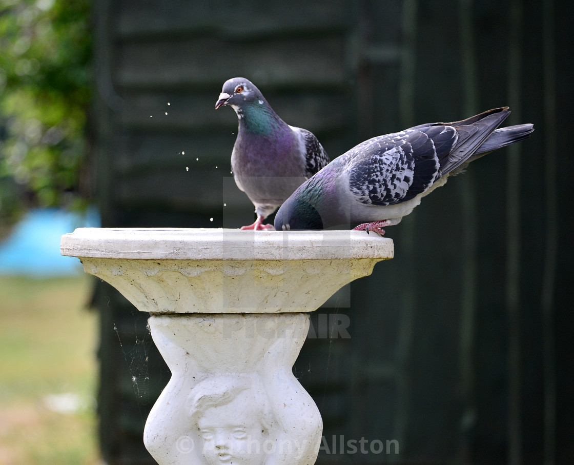 """Pigeons drinking"" stock image"