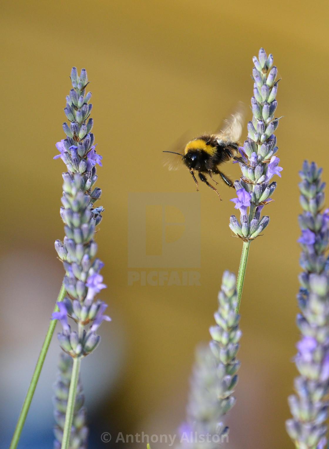 """Bee through lavender"" stock image"