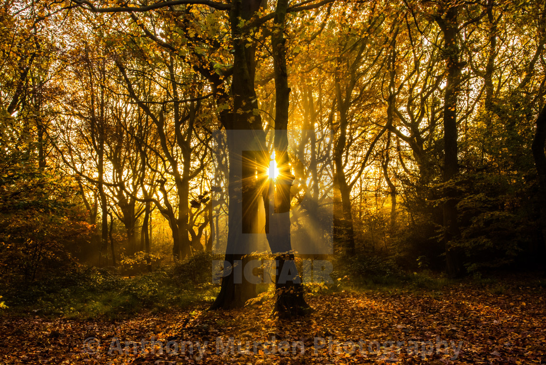 """""""Sunrise in Lilford Woods, Leigh"""" stock image"""