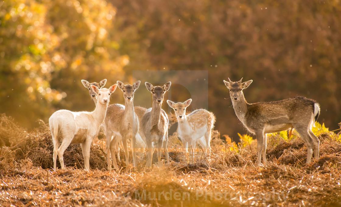 """Fallow Deer, Dunham Massey"" stock image"
