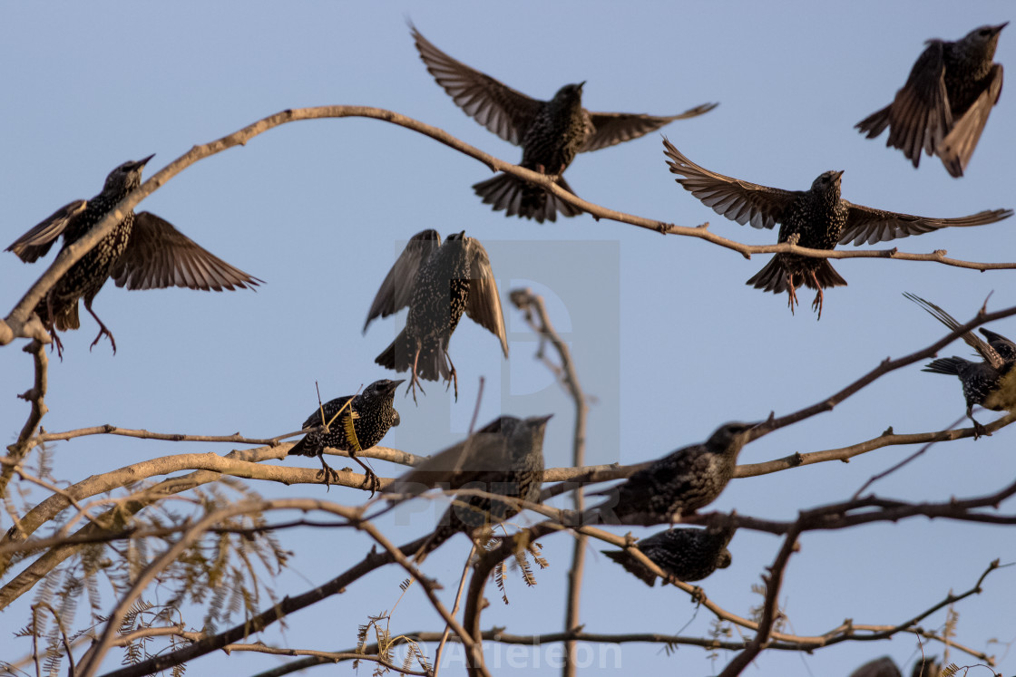 """group of starling about to fly"" stock image"