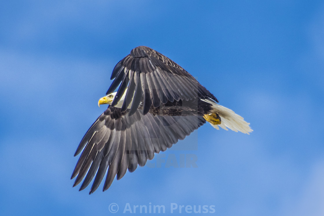 """Bald Eagle Cloaking"" stock image"