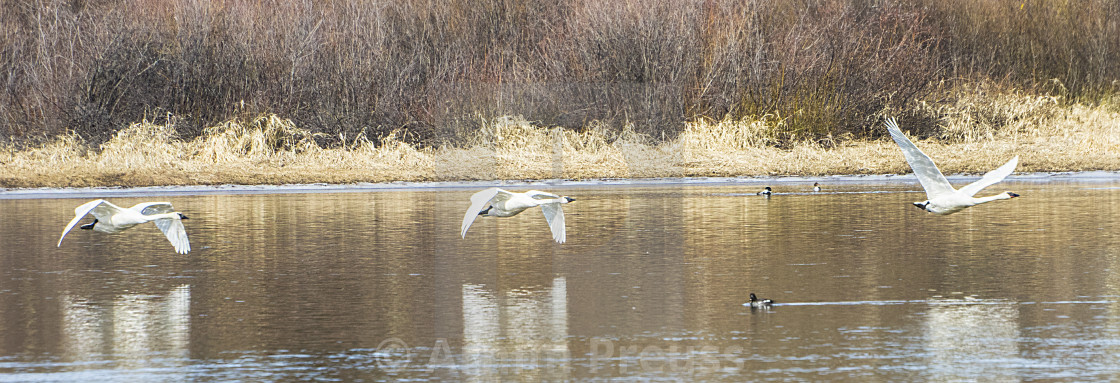 """Trumpeter Swans In Flight"" stock image"
