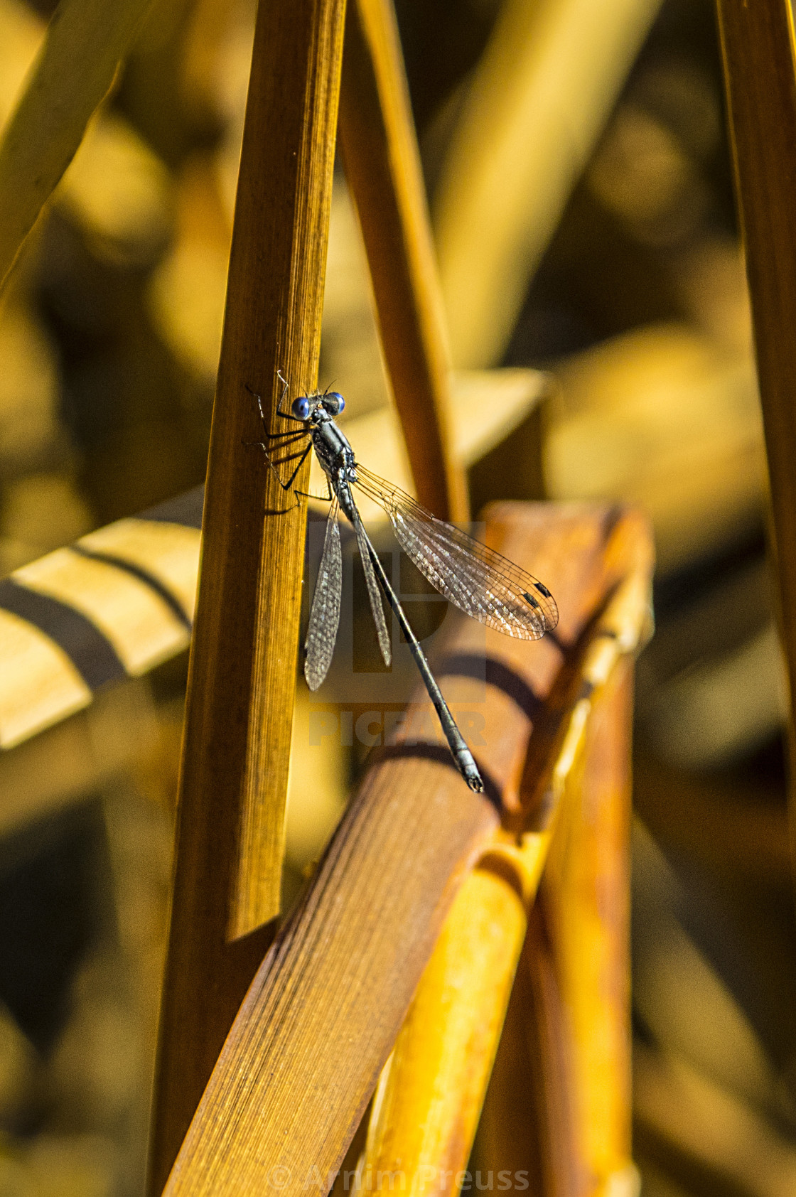 """The Damsel Fly"" stock image"